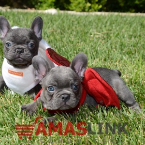 Blue French Bulldog Puppies For Good homes